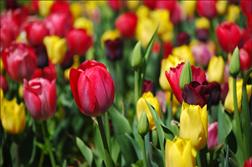 tulips-sm